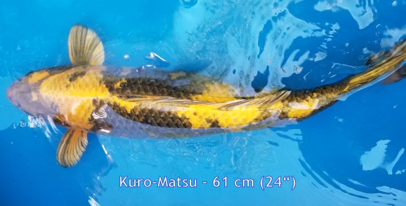 Kuromatsu 6818