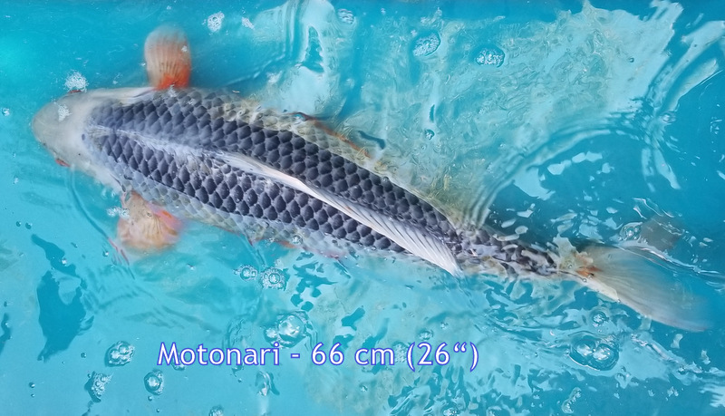 Motonari 6818