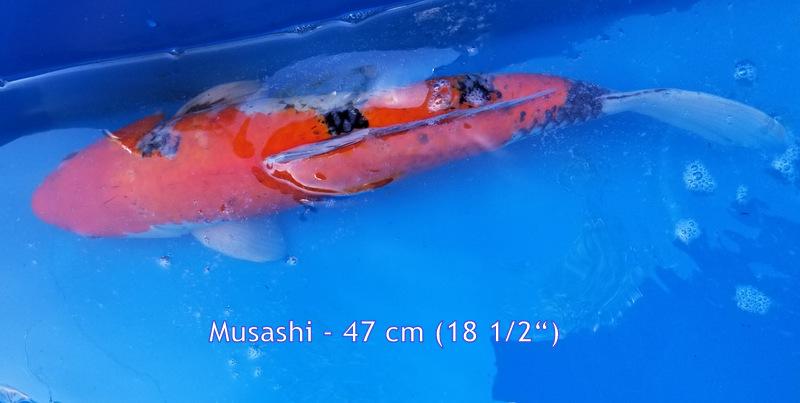 Musashi 6818