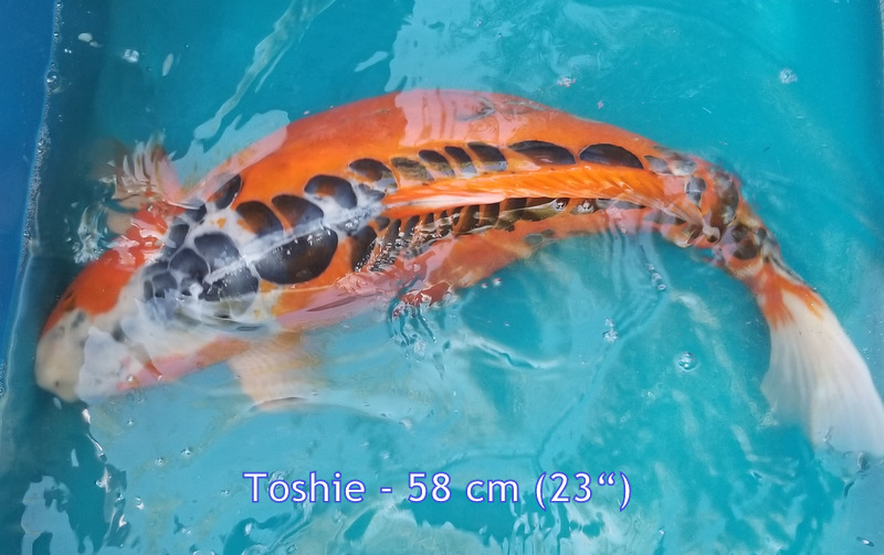 Toshie 6818